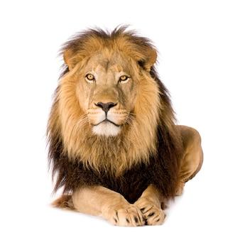 León, panthera leo sobre un blanco aislado