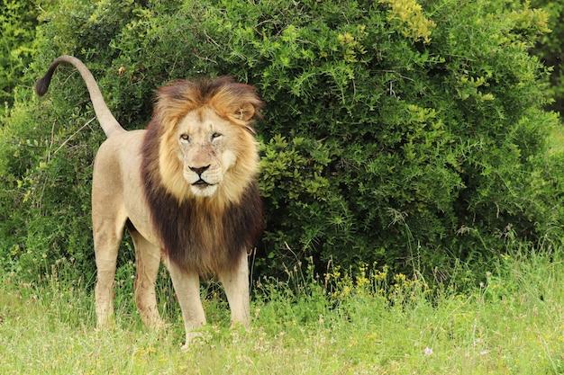 León peludo caminando en el parque nacional de elefantes addo durante el día