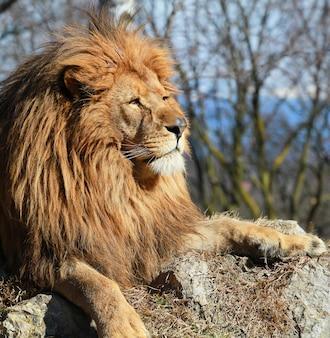 El león en el safari del zoológico.