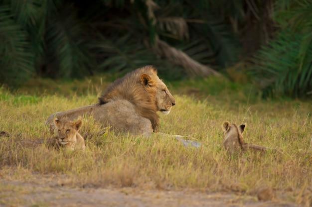 León y sus cachorros en la sabana