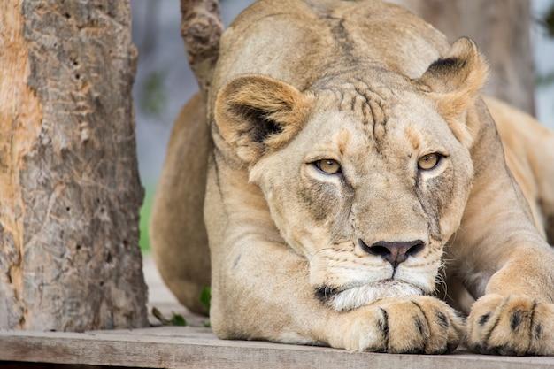 El leon en el zoo
