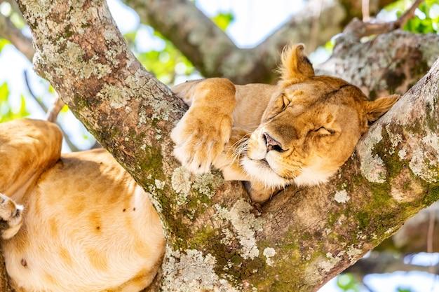 Leona en el árbol en la reserva nacional de masai mara, kenia. fauna animal. concepto de safari.