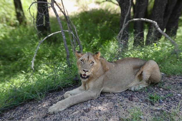 Una leona mirando a la cámara.