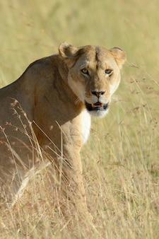 Leona en el parque nacional de kenia