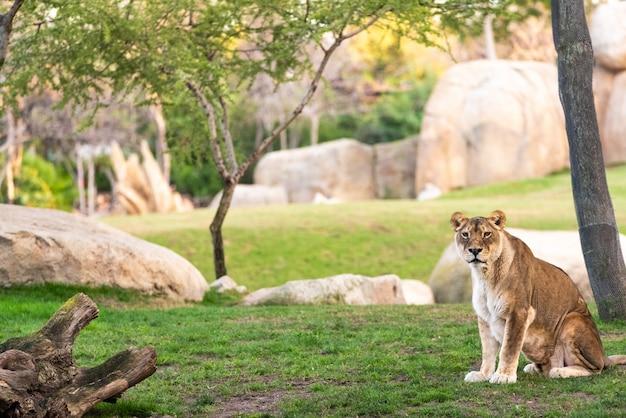 Leona que mira la cámara tranquilamente en un parque zoológico.