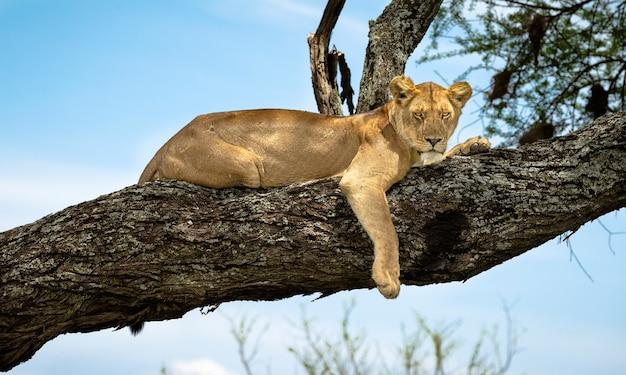 Leona en las ramas de un árbol en áfrica