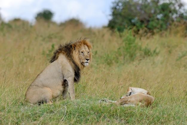 Leones en el parque nacional de kenia