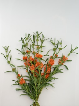 Leonotis leonurus naranja sobre fondo blanco