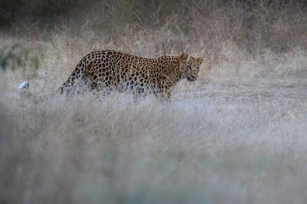 Leopardo indio en el hábitat natural leopardo descansando sobre la roca escena de vida silvestre con peligro animal
