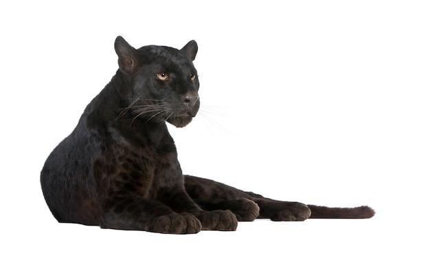 Leopardo negro sobre un blanco aislado
