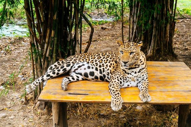 Leopardo tumbado en la madera
