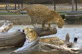 Leopardo en el zoológico de delhi