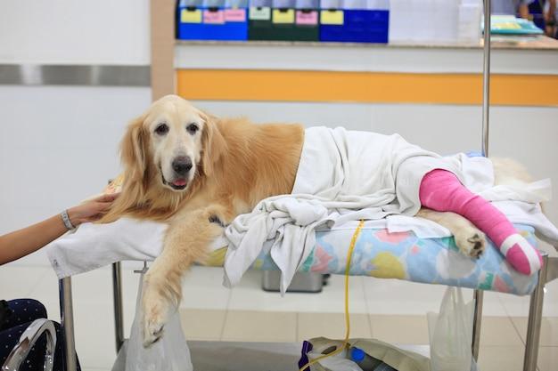 Lesionado golden retriever con vendaje rosa en silla de ruedas después de la cirugía