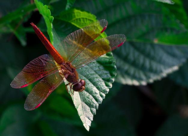 La libélula roja hermosa muestra las alas detalla en una hoja verde como fondo natural el día de la sol. insecto animal en la naturaleza. closeup libélula roja. indicador de calidad del agua. concepto conmemorativo. salva el mundo.