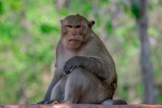 Líder de mono divertido en un bosque
