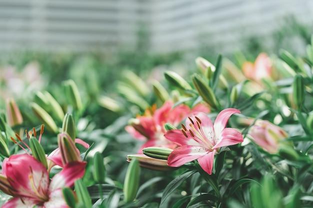 Lil white (híbridos de lily, lilium) floreciendo en el jardín, ideas de jardinería decoración