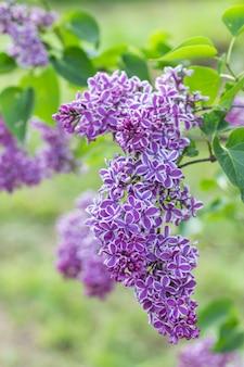 Lila floreciente en el jardín botánico