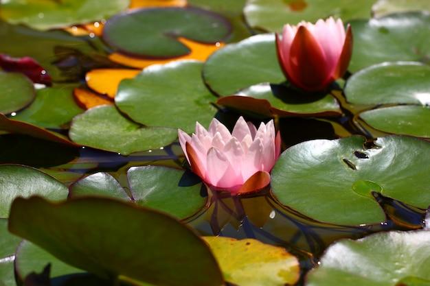 Lily bud flor rosa entre las hojas en el agua.