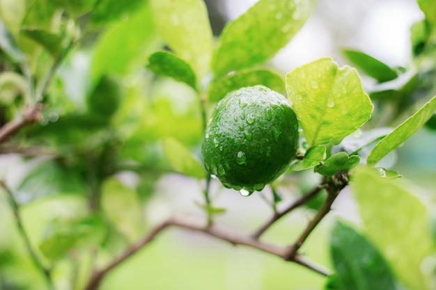 Limón en árbol en la estación de lluvias.