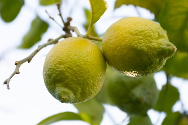 Limones colgando de un arbol