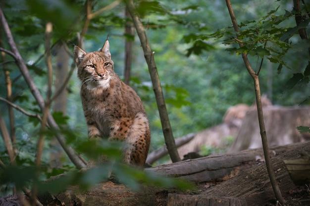 Lince euroasiático hermoso y en peligro de extinción en el hábitat natural lynx lynx