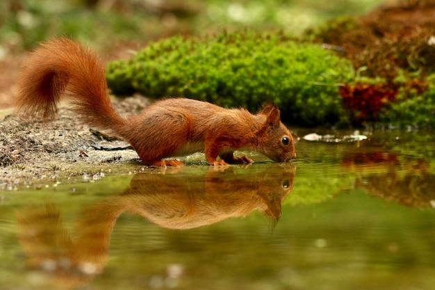 Linda ardilla bebiendo agua de un lago en un bosque