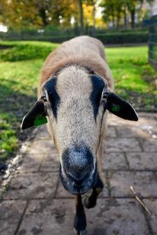 Linda oveja sobre un fondo borroso