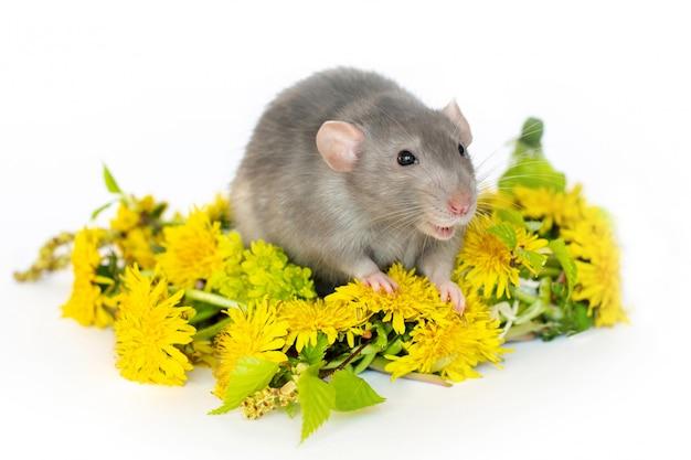 Linda rata sobre un blanco aislado dentro de una corona de diente de león. mascotas, roedores.
