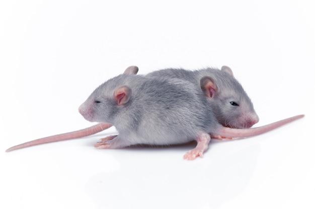 Lindas ratas bebé