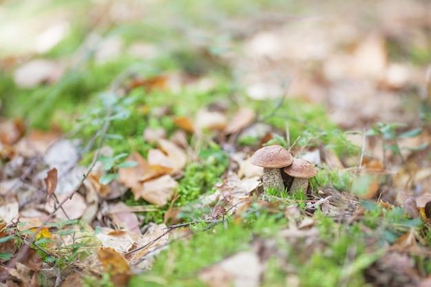 Lindas setas están creciendo en la hierba del bosque.