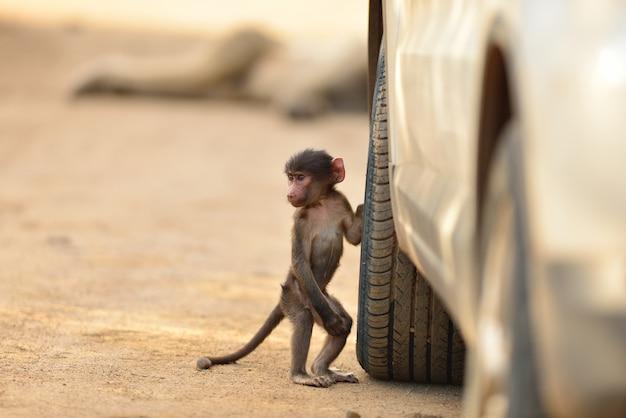 Lindo bebé babuino por un neumático de automóvil en un camino de ripio