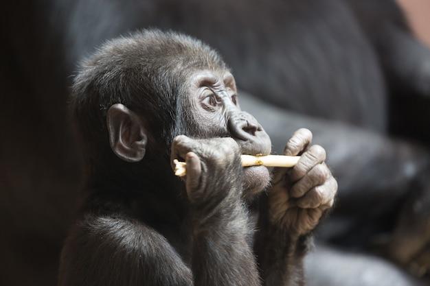 Lindo bebé gorila pequeño juega con un palo