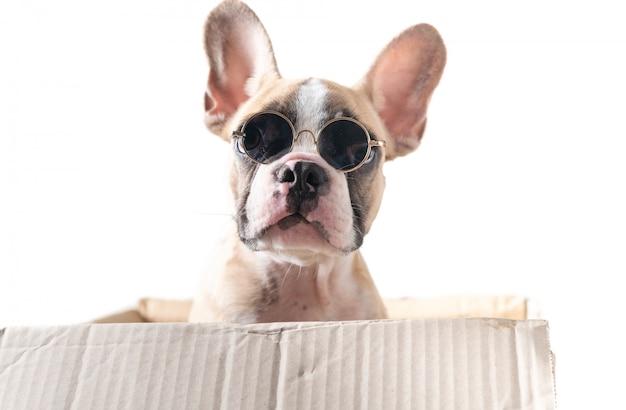 Lindo bulldog francés usar gafas de sol en caja de papel