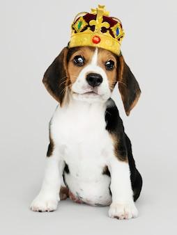Lindo cachorro beagle en una clásica corona de terciopelo dorado y rojo