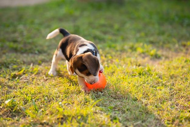 Lindo cachorro beagle jugando a la pelota en el jardín