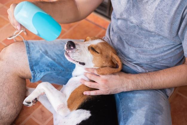 Lindo cachorro beagle jugando con su dueño