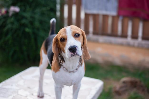 Lindo cachorro beagle de pie sobre la mesa blanca