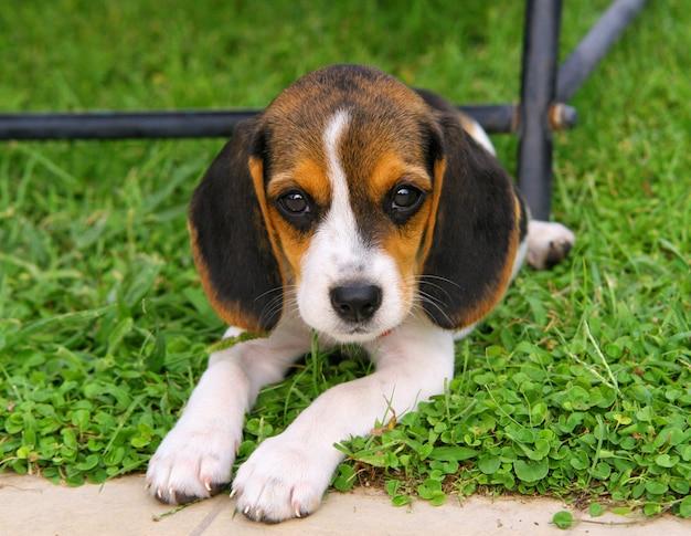 Lindo cachorro beagle