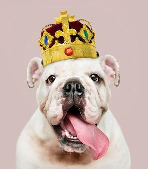 Lindo cachorro de bulldog inglés blanco en una clásica corona de terciopelo rojo y oro