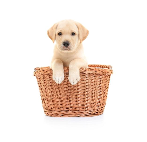 Lindo cachorro labrador retriever en canasta de mimbre sobre superficie blanca
