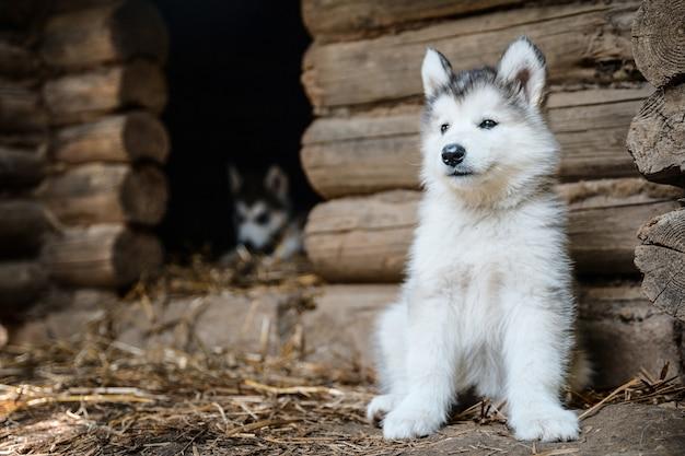 Lindo cachorro malamute de alaska en jardín de hierba