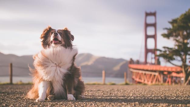 Lindo cachorro de pastor australiano esponjoso con el puente golden gate en el fondo