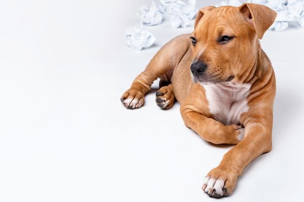 Lindo cachorro de staffordshire terrier