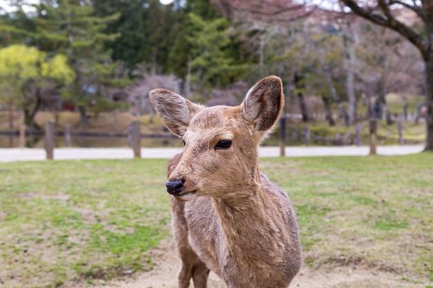 El lindo ciervo es un símbolo de la ciudad y se cree que representa a los dioses en el área del santuario kasuga y el parque nara un famoso destino turístico en la prefectura de nara, región de kansai, japón.
