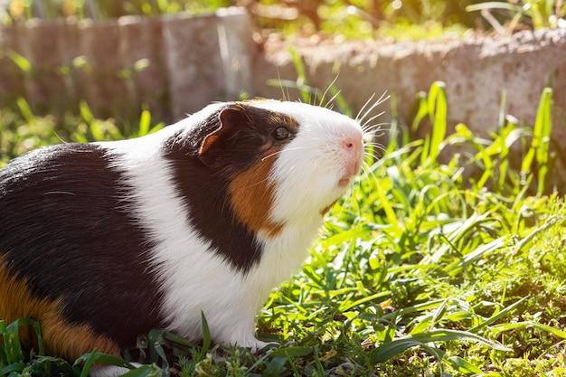 Lindo conejillo de indias en la hierba verde en el jardín