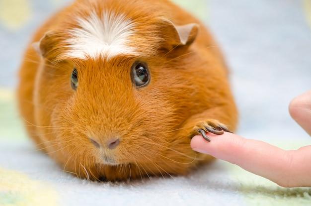 Lindo conejillo de indias tímido con su pata en un dedo humano como si estuviera dándose la mano