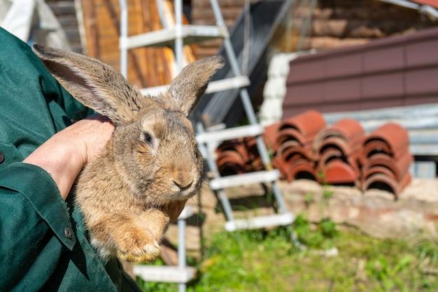 Lindo conejo encantador con orejas largas. mascotas en la finca.
