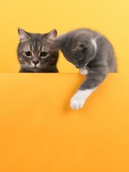 Lindo gatito y gatito gris, en un amarillo, se ve y juega. negocios, copyspace.