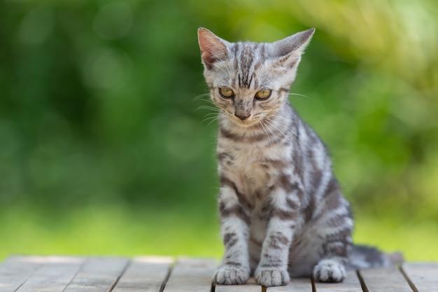 Lindo gatito gato americano de pelo corto en el jardín