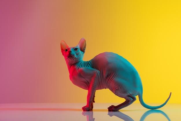 Lindo gatito gato sphynx posando aislado sobre la pared